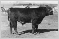 Canyon Creek shorthorn at Interior Provincial Exhibition