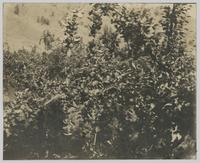 Apple trees in Richter's orchard